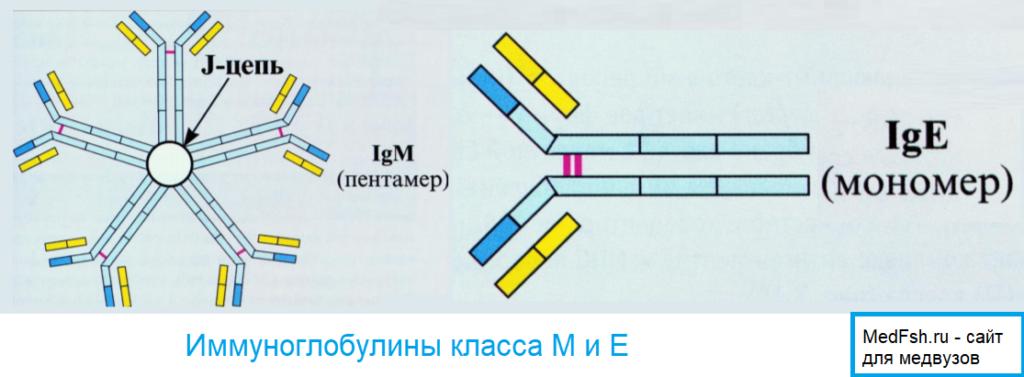 Иммуноглобулины класса M и E