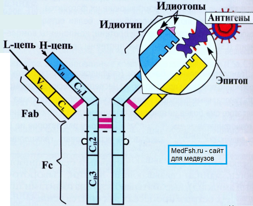 Расположение антигена