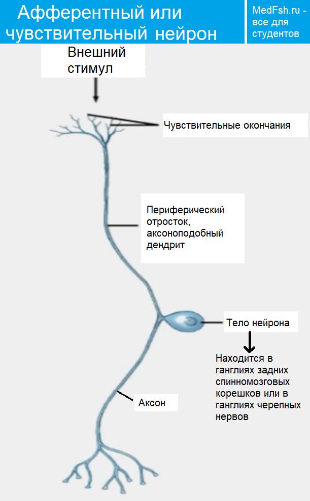 Строение афферентного или чувствительного нейрона