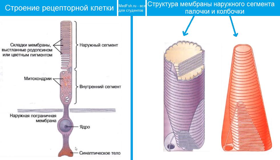Строение рецепторных клеток, палочки и колбочки