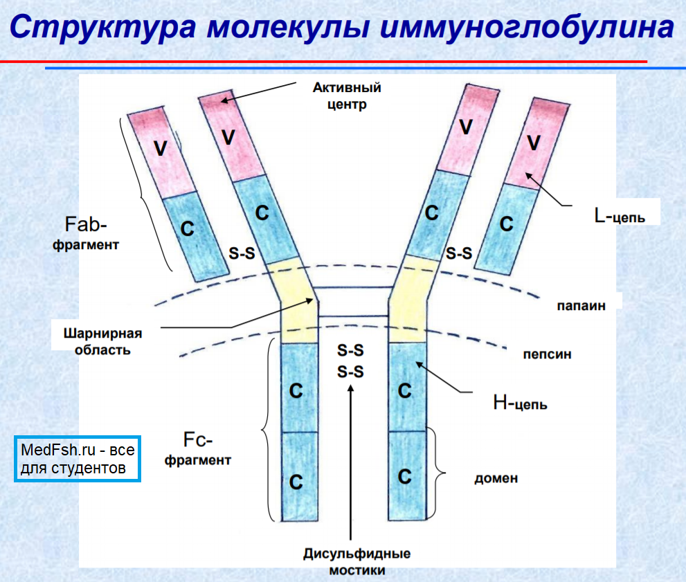 Структура молекулы иммуноглобулина